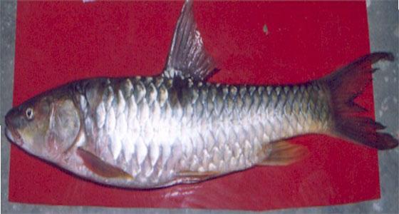 हिमाचल में 'नीली क्रांति' के लिए विदेशों से आयात हुई ये प्रजातियां,छह हजार को सीधा रोजगार